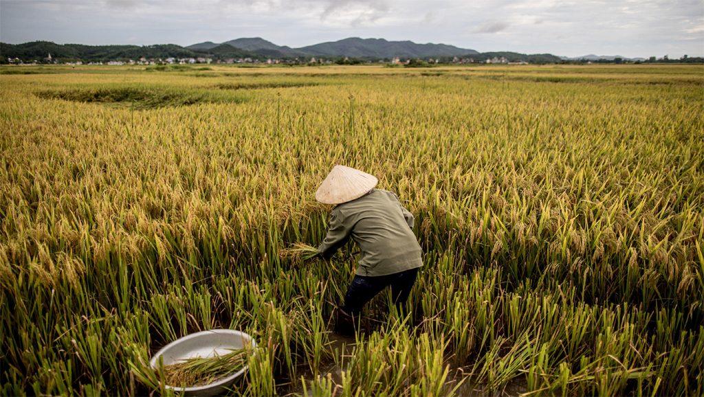 Vietnam - Hambre cero - Agricultura - Fuente foto web - Data Urgente copia
